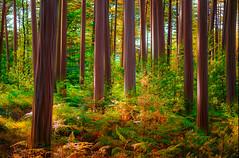 ZUTOIAK 1 (juan luis olaeta) Tags: photoshop lightroom raw fujifilm fujifilmxt3 forest tree landscape euskalherria basquecountry