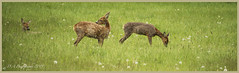 Lazy Days just Grazing DSC_3249 (dark-dave) Tags: deer wildlife oxfordshire kidlington hamptongay poyle cherwell field medows