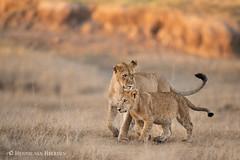 Naptime (hvhe1) Tags: nature wildlife wild animal africa kenya pantheraleo leeuw leeuwin welp lioness cub sunrise canyon lion orange maasaimara cat bigcat hvhe1 hennievanheerden löwe