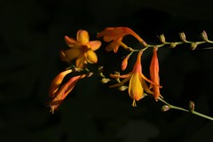 Sunlit (Tony Tooth) Tags: niko d7100 sigma 70mm flower orange chiaroscuro churchyard grindon staffs staffordshire