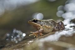豎琴蛙 (Sam's Photography Life) Tags: 豎琴蛙 蛙 青蛙 蓮華池 南投 淘米 紙教堂 生態 自然 夜間 夜間攝影 夜觀 閃燈 frog nature nikon night marco mraco d850