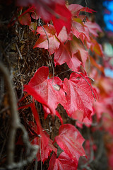 Colorful autumn leaves (Martin Bärtges) Tags: ivy efeu germany deutschland natur naturfotografie naturliebhaber naturelovers naturephotography nature outside outdoor drausen pflanzen plants laub blätter leaves blue sky mirrorless nikonphotography nikonfotografie z6 nikon herbstfarben herbst autumncolors autumn farbtupfer farbenfroh colo rot red