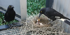 Currawong chicks hatching and feeding (interestedbystandr) Tags: piedcurrawong currawong uq imb nesting nest egg eggs hatching brisbane