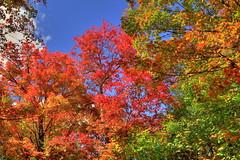 Autumn Colours in Algonquin Provincial Park, Ontario, Canada (klauslang99) Tags: klauslang nature naturalworld northamerica canada autumn fall trees colour color red landscape algonquin park sugar maple