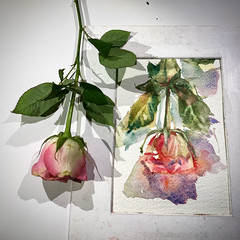 Day 1517. The #rose #painting for today. #watercolour #watercolourakolamble #sketching #stilllife #flower #art #fabrianoartistico #hotpress #paper #dailyproject (akolamble) Tags: rose painting watercolour watercolourakolamble sketching stilllife flower art fabrianoartistico hotpress paper dailyproject