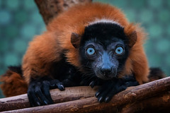 Blaue Augen, blue eyes (Jutta Achrainer) Tags: achrainerjutta affen fe100400mmf4556gmoss sonyalpha7riii säugetiere tierwelt vari rotervari tierparkhellabrunn zoo