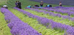 Labourers for the Harvest (Lawrence OP) Tags: lavendar kent harvest work labourers purple