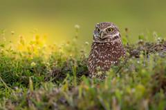 Burrowing owl (Frank Schauf Photography) Tags: animal burrowingowl bird florida kaninchenkauz nordamerika northamerica tier usa vogel