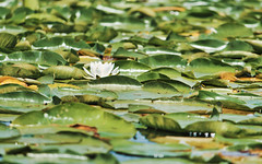 Not to be overcome (Wicked Dark Photography) Tags: wisconsin flora flower flowers kayaking lilypads nature paddling summer waterlily wildflower wildflowers