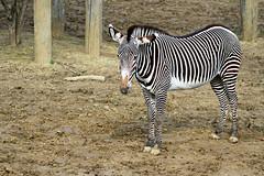 Zèbre de Grévy (olivier.ghettem) Tags: zoodeparis zoodevincennes zoo parczoologiquedeparis paris zèbre zèbredegrévy zebra animal afrique africa equusgrevyi mammifère équidé herbivore