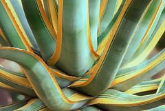 palm-colour (elmar theurer) Tags: botanik abstrakt pflanze plant blume flower natur nature blüte blossom bloom florescence beauty biologie happening cactus kakteen kaktus botanischer garten karlsruhe