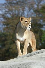 Lionne (olivier.ghettem) Tags: zoodeparis zoodevincennes zoo parczoologiquedeparis paris afrique africa lionne felin fauve mammifère carnivore