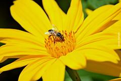 Quinta-flower (sonia furtado) Tags: quintaflower flor flower inseto abelha naflor floramarela soniafurtado frenteafrente