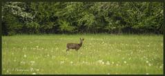 Deer DSC_3233 (dark-dave) Tags: deer oxfordshire cherwell fields medows wildlife