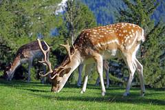 Daim (Dama dama) (bernarddelefosse) Tags: daim damadama mammifère animal parcdemerlet leshouches hautesavoie rhônealpes france