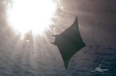 P1020010 (nxdamian) Tags: under water photography uwphotography unterwasserfotografie unterwasser underwater undersea sea life marine nature fish school fischschwarm kleinfische schwertfische lichteinfall travel scuba diving wide angle perspective lumix lx10 lx15 red egypt tauchen duiken hurghada onderwater diveresort buceo 1world1ocean underwaterworld plongee ocean scubadiver fotografia podwodna