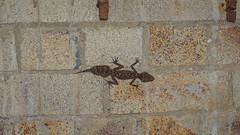 lizard king (durancordova.m) Tags: lizard reptilian tail