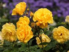October roses (libra1054) Tags: rosen roses rosas rose rozen yellow giallo gelb amarillo jaune amarelo geel groc blumen bloemen flores fleurs flowers fiori flors