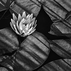 Water Lily (Anthony M Cedrone) Tags: anthonycedrone lily waterlily shadows blackandwhite bog water fall southernnewjersey