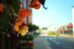 Flaming bright... (Maria Godfrida) Tags: crazytuesday upsidedown flowers flora plants nature orange bright streetview closeup bokeh dof