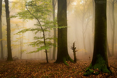 young beech (Rita Eberle-Wessner) Tags: wald forest laubwald beeches beech woods trees bäume herbst autumn fall laub leaves fog nebel wilderness wildnis odenwald