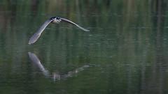 Black-crowned Night Heron  0471 (Paul McGoveran) Tags: bif bird birdinflight blackcrownednightheron hendrievalley nature nikon500mmf4 nikond500 nikond850