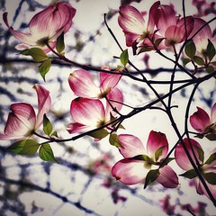 Untitled (mia depaola) Tags: yongnuo50mm hiftynifty eos canon morning naturallight evocative tree spring nature verticalframe streetphotography textures fineart beautiful bokeh pink dogwood flowers