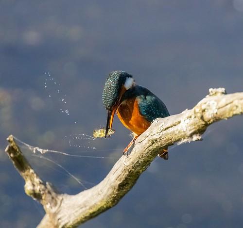 1st Fara Sarajian - Kingfisher
