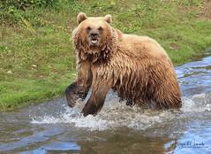 Kamtschatkabärin (babsbaron ( Bella )) Tags: nature tiere animals raubtiere predators bären bears kamschatka zoo erlebnispark gelsenkirchen canon naturephotographie animalphotographie säugetiere mammals