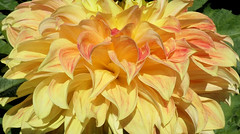 Beautiful Dahlia Layers (shelly.morgan50 (mostly off)) Tags: shellymorgan50 garden macro sunlight sunshine sunny bright light nature flower flowerphotography closeup dahlia petals layers details yellow usa midwest panasoniclumixdczs200 coth coth5