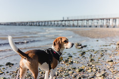 on the last day of september (cathy sly) Tags: squalicumpark beach beagle hound