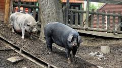 Pinky n Perky. Sept 2019 (Simon W. Photography) Tags: pig suidae farmanimal pinkyandperky domesticpig pork omnivores ungulates artiodactyla derbyshire farm farming sonyrx10iv sonyrx10m4 sonyuk