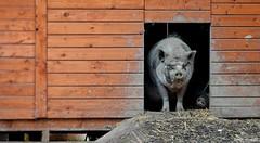 Get Orf My Land. Sept 2019 (Simon W. Photography) Tags: pig suidae farmanimal pinkyandperky domesticpig pork omnivores ungulates artiodactyla derbyshire farm farming sonyrx10iv sonyrx10m4 sonyuk