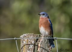 Merle bleu de l'Est (mâle) - Eastern Blue Bird (male) (Lucie.Pepin1) Tags: oiseaux birds merle nature wildlife faune fauna luciepepin canon7dmarkii canon300mml