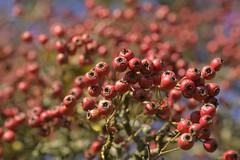 CardinalCascade (Tony Tooth) Tags: nikon d7100 sigma 70mm berries redberries cardinal cardinalred bokeh nature october grindon staffs staffordshire