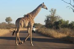 Road Jam (Rckr88) Tags: krugernationalpark southafrica kruger national park south africa road jam roadjam roads animal animals giraffe giraffes nature naturalworld outdoors wilderness wildlife