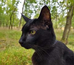 Kakashi in the Woods (annette.allor) Tags: adventure cat woods kakashi portrait