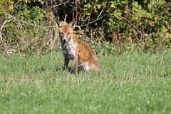 The car park attendant (roger_forster) Tags: red fox vulpesvulpes wildgrounds gosport hampshire hiwwt