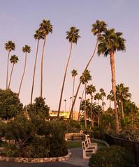 Palm Trees in Laguna Beach, California (ChrisGoldNY) Tags: chrisgoldphoto chrisgoldny chrisgoldberg bookcovers albumcovers licensing lagunabeach laguna orangecounty california cali socal westcoast heislerpark palmtrees trees parks iphone