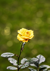 """Grow through what you go through"" (Ramalakshmi Rajan) Tags: rose roses yellow flowers flower inmygarden nikon nikond750 nikkor24120mm quotes"