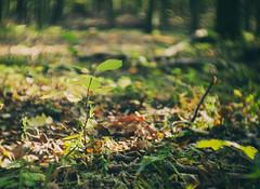 seedling (LiquidStep) Tags: seedling nature forest autumn fall bokeh olympusomdem10markii cmount fujian fujian35mm fujian35mmf17cctv