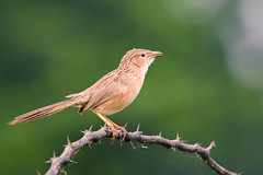 Common Babbler (Rajiv Lather) Tags: vögel nature wildlife vogelstand birds birding birder birdwatching india indian aves outside avifauna avian image photo photograph trees thorns pic commonbabbler turdoidescaudatus green light picture sylviidae feathers