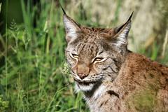 Lynx d'Europe (olivier.ghettem) Tags: zoodeparis zoodevincennes zoo parczoologiquedeparis paris lynx lynxdeurope felin carnivore mammifère animal europe