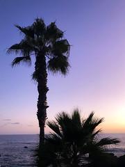 Palm Trees in Laguna Beach, California (ChrisGoldNY) Tags: chrisgoldphoto chrisgoldny chrisgoldberg bookcovers albumcovers licensing lagunabeach laguna orangecounty california cali socal westcoast magichour palmtrees dusk silhouettes trees beach oceans