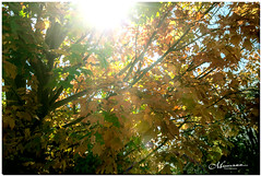SEPTEMBER 2019  _74_NGM_3073-1-222 (Nick and Karen Munroe) Tags: maple mapletree leaves leaf yellow golden goldenlight gold orange cool flora fall autumn fallsplendor fallcolours karenick23 karenick karenandnickmunroe karenandnick munroe karenmunroe karen nickandkaren nickandkarenmunroe nick nickmunroe munroenick munroedesigns photography munroephotoghrpahy munroedesignsphotography nature landscape brampton bramptonontario ontario ontariocanada outdoors canada d750 nikond750 nikon nikon2470f28 2470 2470f28 nikon2470 nikonf28 f28 colour colours color colors