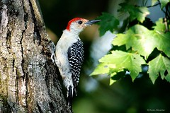 Male Red-bellied Woodpecker (Anne Ahearne) Tags: wild bird animal nature wildlife maple leaves tree woodpecker birdwatching redbelliedwoodpecker