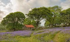 Bluebells at Emsworthy (Hoovering_crompton) Tags: emsworthy barn dartmoornationalpark spring bluebells nikond7200