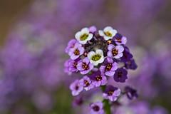 Alyssum (pstenzel71) Tags: blumen natur pflanzen alyssum steinkraut darktable flower bokeh
