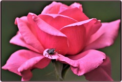 Pink rose & bug (Ioan BACIVAROV Photography) Tags: natura nature flower flowers fleur floare beautiful wonderful rose pink bug