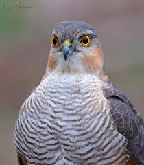 Sparrow Hawk (Nigel Hodson) Tags: canon 600mmf4ii 14x sparrowhawk hawk birds birdphotography bird birdofprey nature naturephotography wildlife wildlifephotography ianhowells